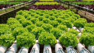 organic hydroponic vegetable farming