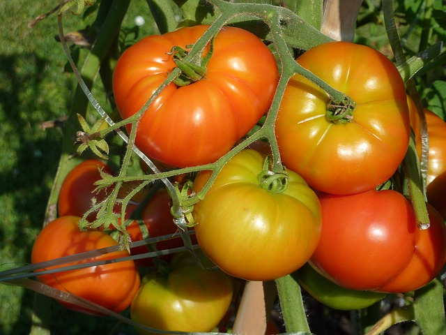 organic home grown tomatoes