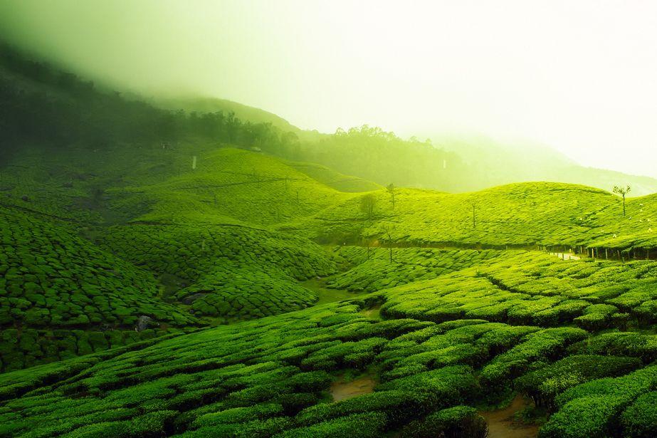 Tea growing in tea plantation